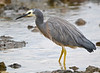 White-faced Heron - Egretta novaehollandiae (Walkerville North, Vic)