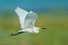 Little Egret - Egretta garzetta (WTP, Vic)