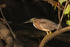 Striated Heron - Butorides striata (Daintree River, Daintree, Qld)