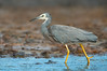 White-faced Heron - Egretta novaehollandiae (Flinders, Vic)