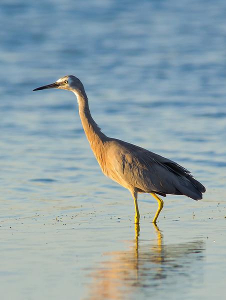 White-faced Heron - Egretta novaehollandiae (Port Pirie, SA)