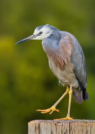 White-faced Heron - Egretta novaehollandiae (Yarra Flats, Vic)