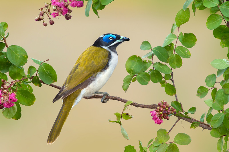 Blue-faced Honeyeater - Entomyzon cyanotis (Kerang, Vic)