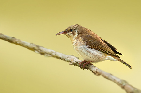 Brown-backed Honeyeater - Ramsayornis modestus (Abbatoir Swamp, Julatten, Qld)