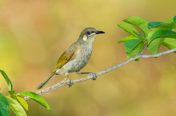 Yellow-spotted Honeyeater - Meliphaga notata (Clifton Beach, Qld)