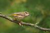Brown-headed Honeyeater - Melithreptus brevirostris (You Yangs Regional Park, Vic)