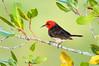 Red-headed Myzomela – Myzomela erythrocephala (m) (Darwin, Northern Territory)