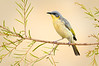 Grey-headed Honeyeater – Ptilotula keartlandi (Ross River, Northern Territory)