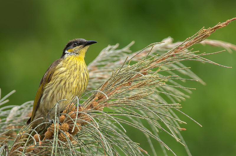 Varied Honeyeater - Lichenostomus versicolor (Cairns, Qld)