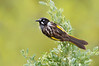 New Holland Honeyeater - Phylidonris novaehollandiae (Pt Cook, Vic)