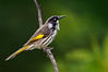New Holland Honeyeater - Phylidonyris novaehollandiae (You Yangs, Vic)
