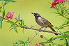 Bridled Honeyeater - Lichenostomus frenatus (Atherton, Qld)