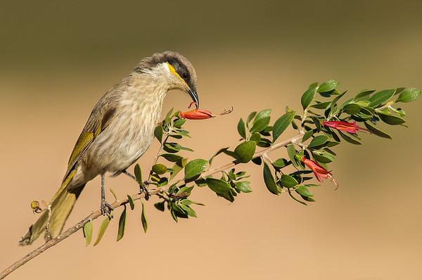 Singing Honeyeater - Lichenostomus virescens (Barham, Vic)
