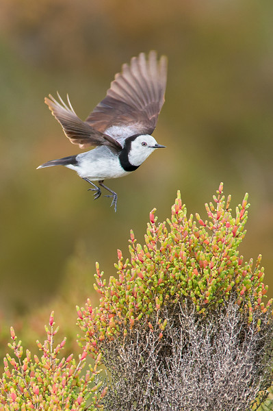 White-fronted Chat - Epthianura albifrons (m) (Western Treatment Plant, Vic)