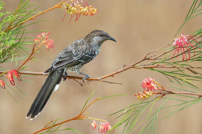 Little Wattlebird - Anthochaera chrysoptera (m) (Flinders, Vic)