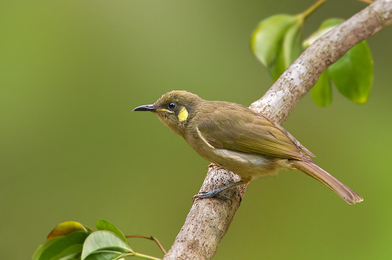 Yellow-spotted Honeyeater - Meliphaga notata (Julatten, Qld)
