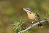 Spiny-cheeked Honeyeater - Acanthagenys rufogularis (Alice Springs, NT)