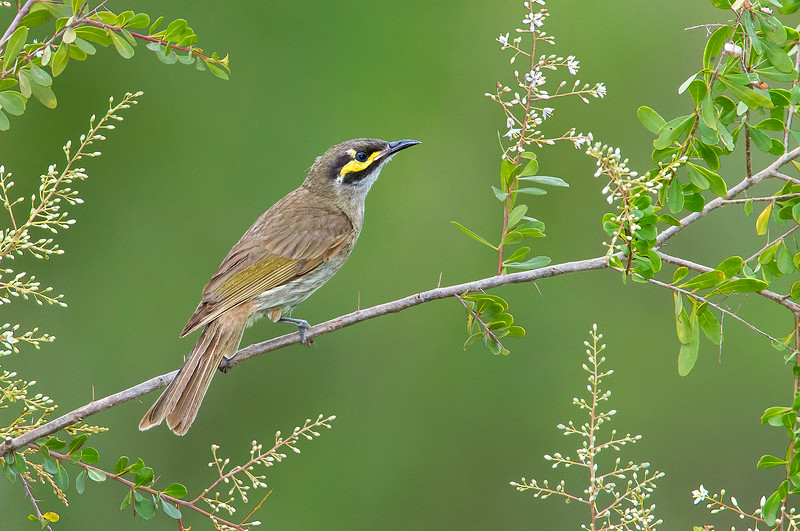 Yellow-faced Honeyeater - Lichenostomus chrysops (Melbourne, Vic)