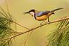 Eastern Spinebill - Acanthorhynchus tenuirostris (Bolin Bolin Billabong, Vic)