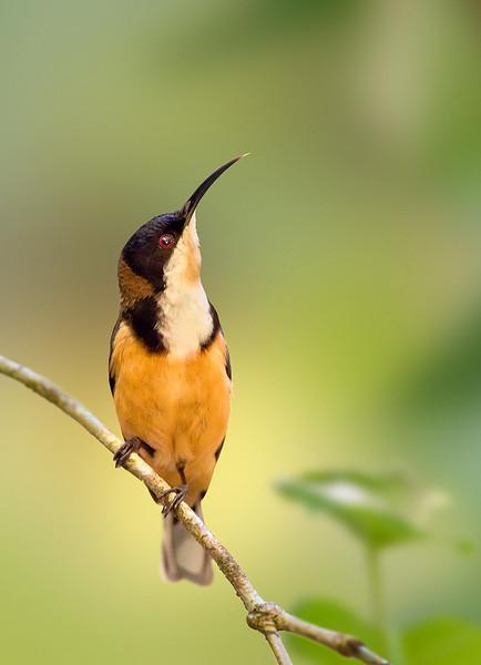 Eastern Spinebill - Acanthorhynchus tenuirostris (ssp dubuis) (Mt Lewis, Qld)