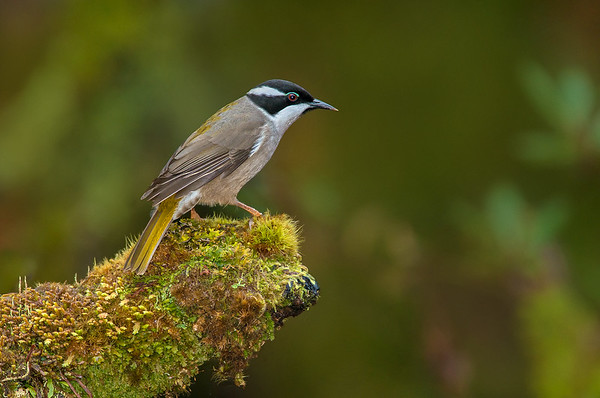 Strong-billed Honeyeater - Melithreptus validirostris (Cradle Valley, Tasmania)