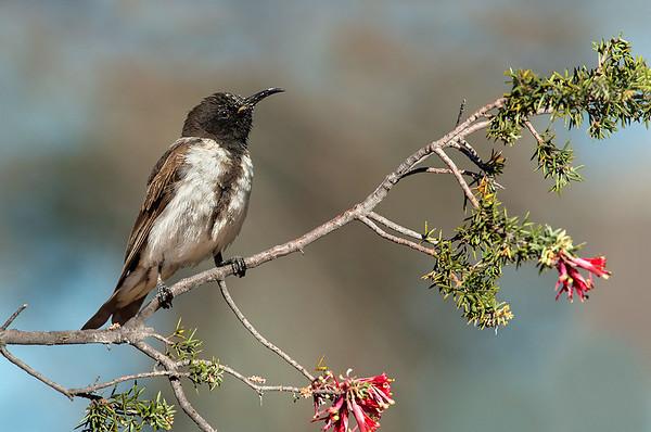 Black Honeyeater - Sugomel niger (Goschen Flora Reserve, Vic)
