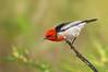 Scarlet Myzomela - Myzomela sanguinolenta (You Yangs Regional Park, Vic)