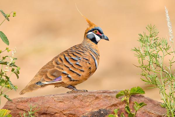 Spinifex Pigeon – Geophaps plumifera (Ormiston, Northern Territory)