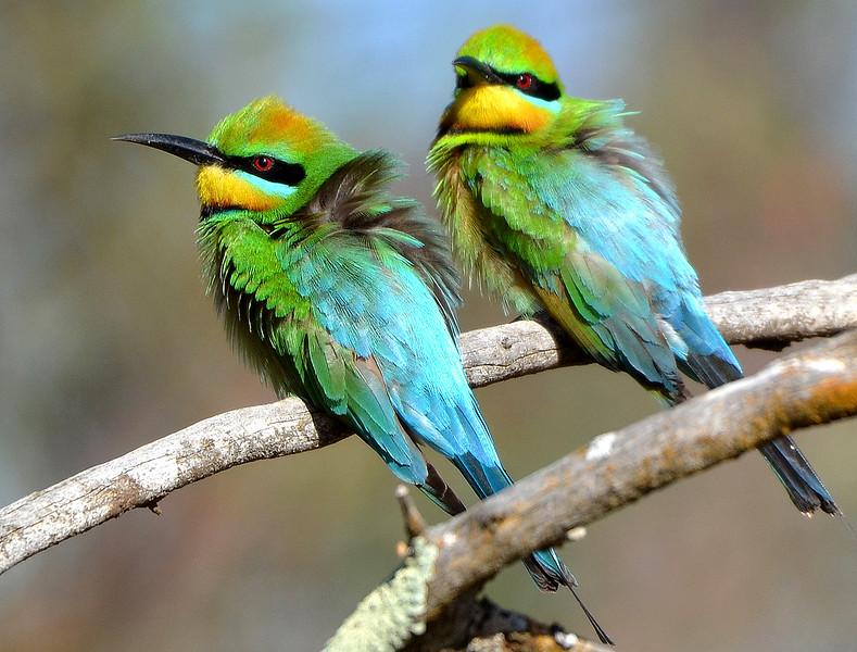 Rainbow Bee-eater - Merops ornatus (Goschen, Vic)