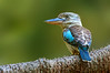 Blue-winged Kookaburra - Dacelo leachii (Centenary Lakes, Cairns, Qld)