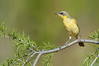 Grey-headed Honeyeater - Lichenostomus keartlandi (Alice Springs)