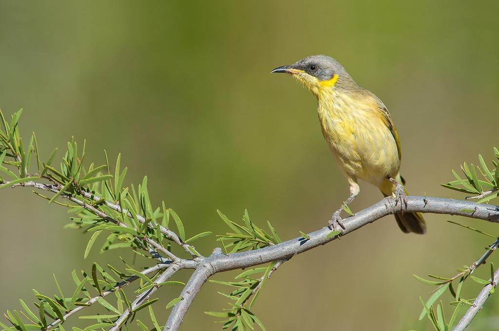Grey-headed Honeyeater - Lichenostomus keartlandi (Alice Springs)