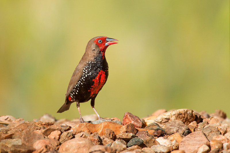 Painted Finch - Emblema pictum (m) (Ormiston, NT)