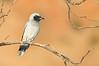 Black-faced Cuckooshrike - Coracina novaehollandiae (Alice Springs, NT)