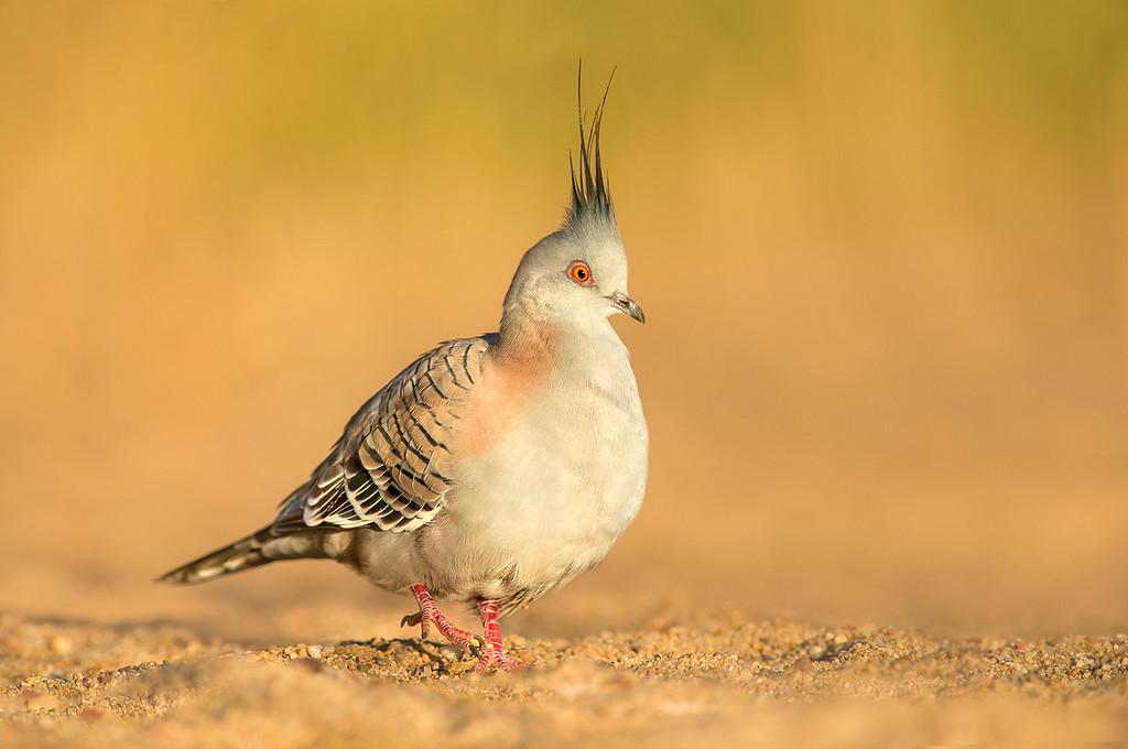 Crested Pigeon - Ocyphaps lophotes (Glen Helen, NT)