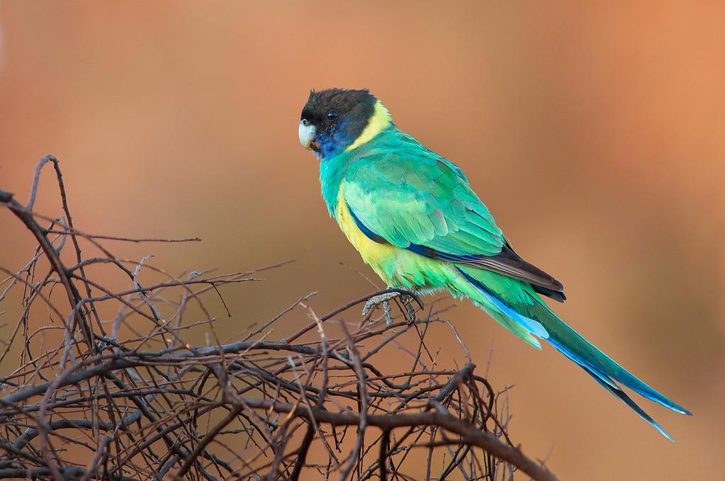 Australian Ringneck - Barnardius zonarius (Cassia Hill, NT)
