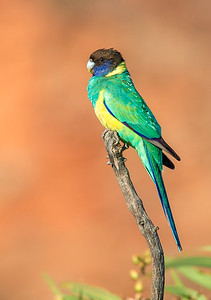 Australian Ringneck - Barnardius zonarius (Alice Springs, NT)