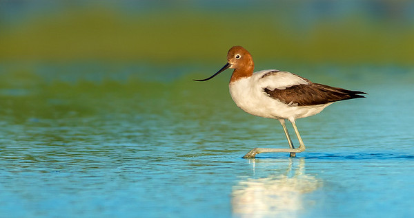 Red-necked Avocet - Recurvirostra novaehollandiae (Alice Springs Treatment Ponds)