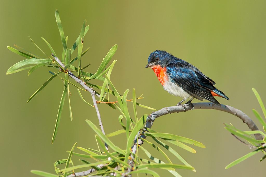 Mistletoebird - Dicaeum hirundinaceum (Alice Springs, NT)