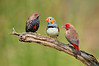 Painted Finch - Emblema pictum (m), Zebra Finch - Taeniopygia guttata (m) (Alice Springs, NT)