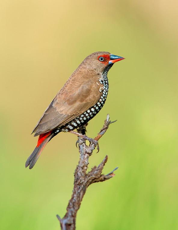 Painted Finch - Emblema pictum (Ormiston, NT)