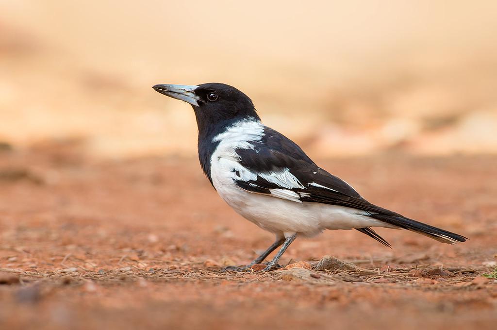 Pied Butcherbird - Cracticus nigrogularis (ssp. picatus) (Ormiston Gorge, NT)