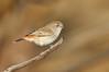 Chestnut-rumped Thornbill - Acanthiza uropygialis (Cassia Hill, NT)