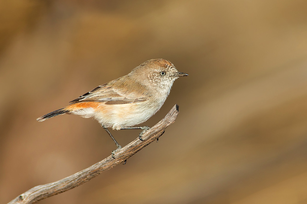 Chestnut-rumped Thornbill - Acanthiza uropygialis (Cassia Hill, NT)