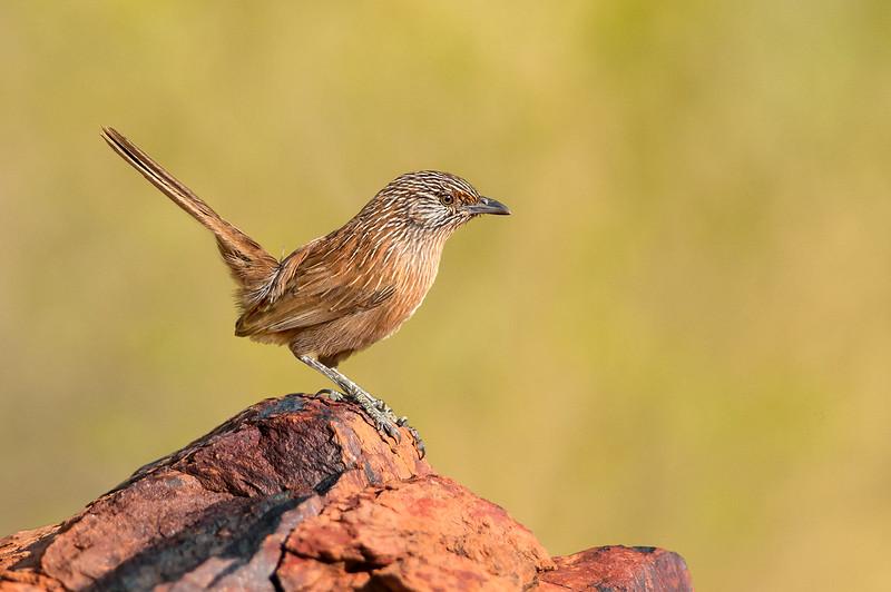Dusky Grasswren - Amytornis purnelli (Ormiston, NT)