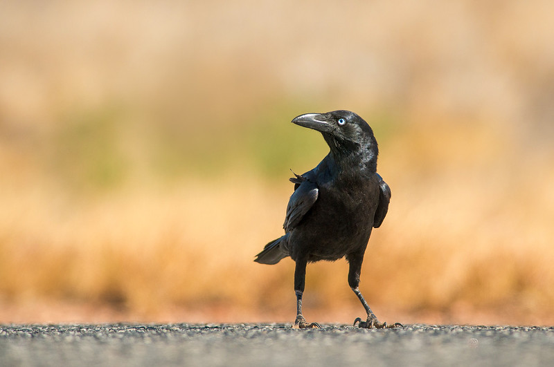 Little Crow - Corvus bennetti (West MacDonnell Ranges, NT)