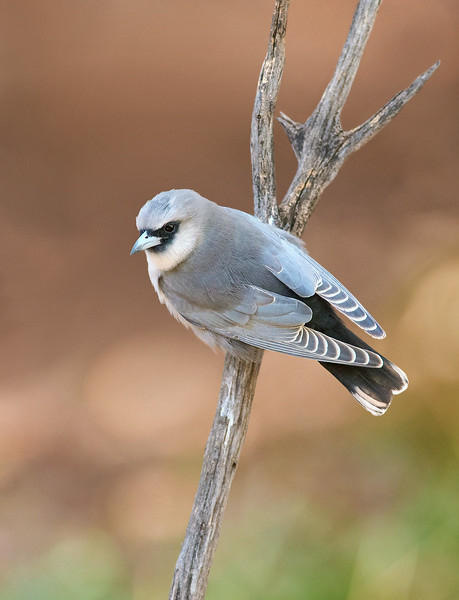 Black-faced Woodswallow - Artamus cinereus (Cassia Hill, NT)