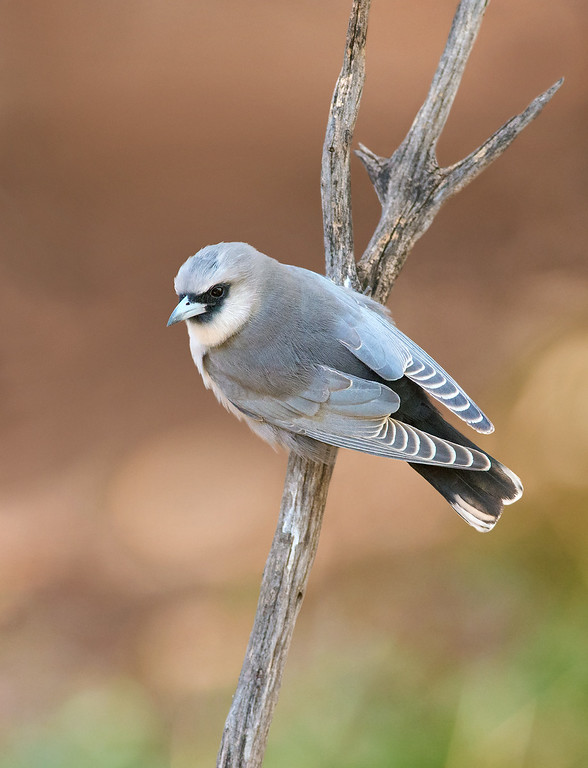 Black-faced Woodswallow - Artamus cinereus (Cassia Hill, NT)