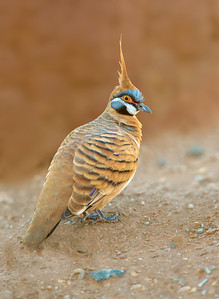 Spinifex Pigeon - Geophaps plumifera (Alice Springs)