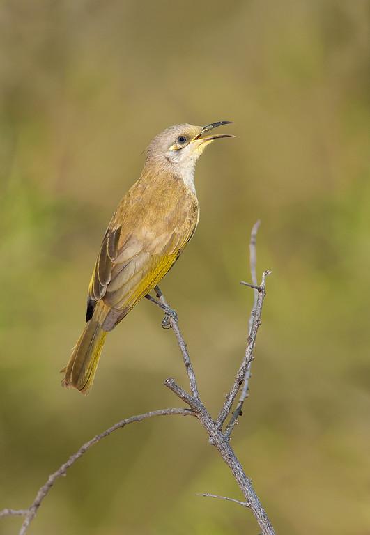 Brown Honeyeater - Lichmera indistincta (Alice Springs, NT)